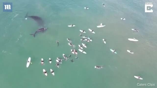 Cá voi chơi đùa với khách lướt sóng
